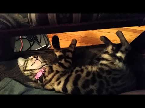 Baby Bengal Kitten - 10 Weeks Old - Finally Sleeps Next to Me on Chair