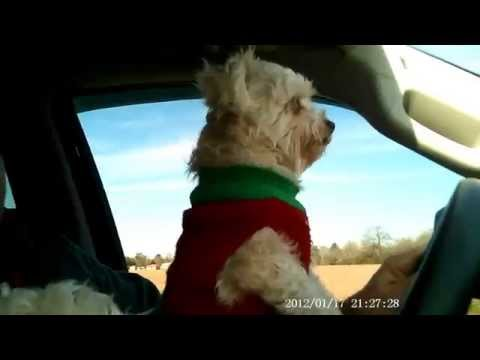 Maltese dog is good driver.
