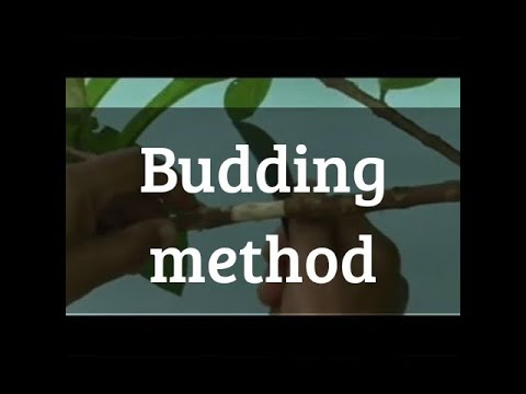 Budding your tree and grow more plant