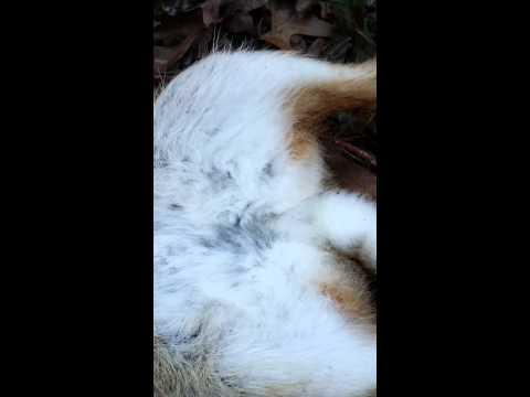 Wild Rabbit covered in fleas