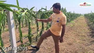 Dragon Fruit Farming And Harvesting
