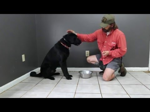 Labrador Retriever Otis -  Resource Guarding Session