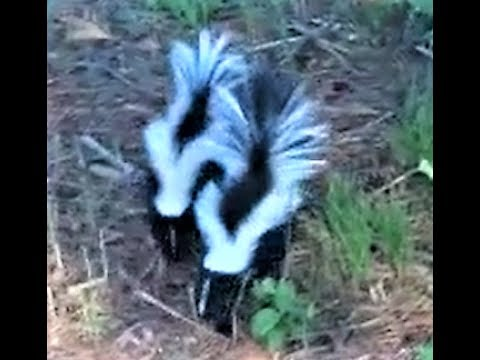 Life on the Farm WE HAVE SKUNKS and they aren't afraid! CUTE Two skunks playing