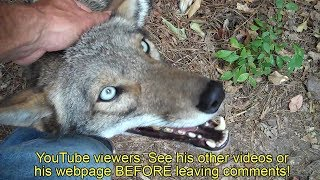 Download Coyote named Scooter - 061 - daily routine Video