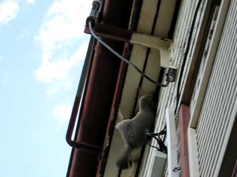 Possum  trying to get into roof