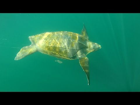 Huge Leather-back Turtle - Off the Cost of Halifax NS - July 11, 2015