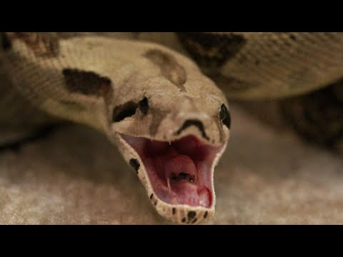 Woman Bit by her Pet Boa Constrictor