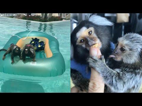 Adorable Pet Monkeys