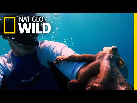 An Octopus Hitches a Ride on a Diver's Arm | Nat Geo Wild