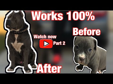 American  Bully,  How to make 100lbs part two