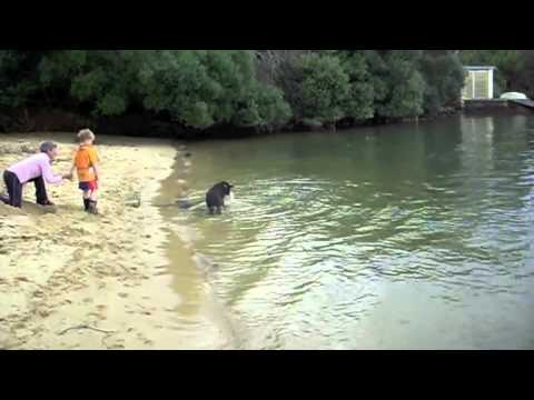Rocco the Blue Heeler duck dives for rocks