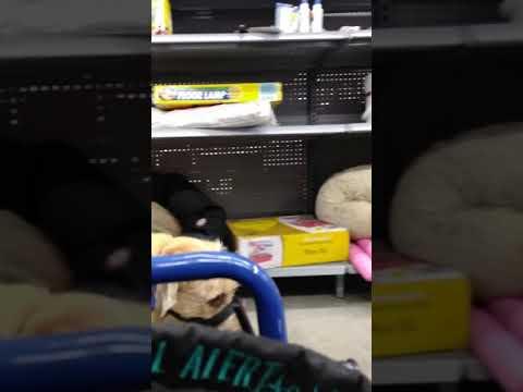 Service Dog Off leash Wheelchair Heel Training