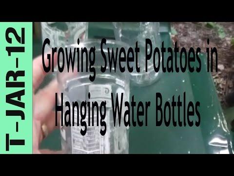 Growing Sweet Potatoes in Hanging Water Bottles