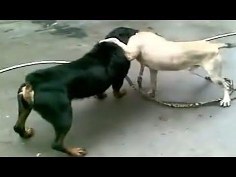 Rottweiler Attacks a Dog!!!