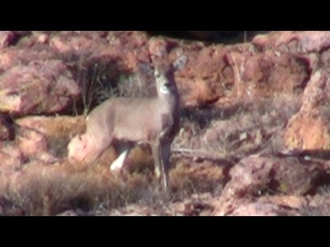 Coues Whitetail Deer Buck, Does & Fawns in Arizona