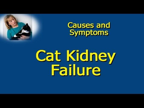 Cat Kidney Failure   Causes and Symptoms