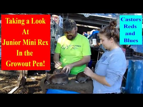 Mini Rex Rabbits - Update on the Castor, Red, and Blue Mini Rex Rabbit Litters in the Growout Pen
