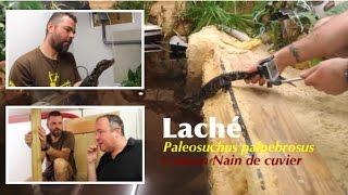 Terrarium Xxl Pour Crocodiles Caimans Paleosuchus Palpebrosus