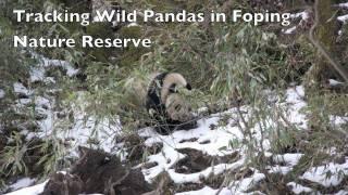 Tracking Wild Pandas