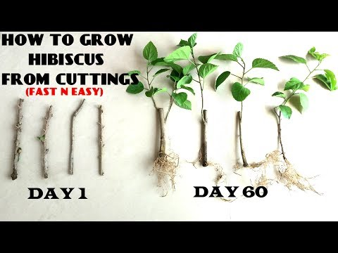 How to Grow Hibiscus from Cuttings