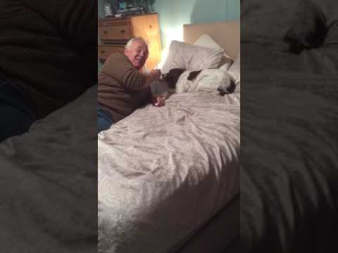 Funny Springer Spaniel  Having Ear Drops