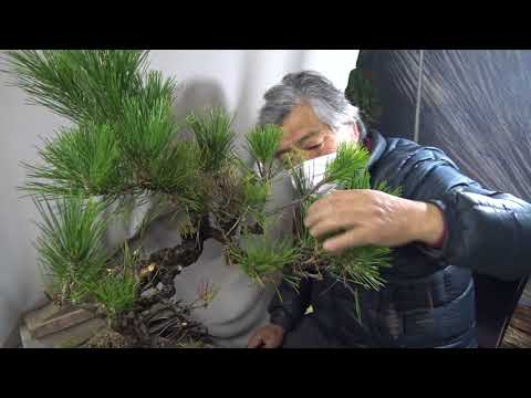 Bonsai master trim the hurt pine tree for reviving. Cut & wire & pot. Approximately