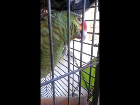 Parrot eating Hot Cheetos