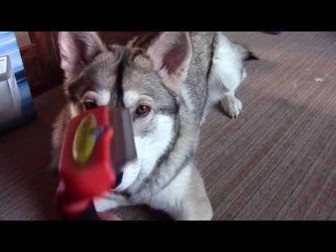 Reduce Shedding on a Northen Inuit Dog/Dire wolf with Furminator