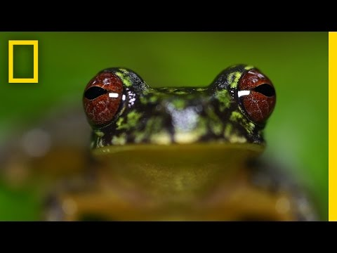 Stunning Close-ups: Meet These Frogs Before They Go Extinct   National Geographic