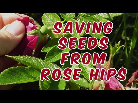How To Save Rose Seeds From Rose Hips