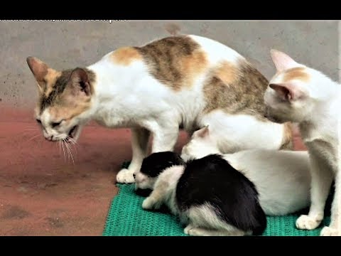 Mother cat licking and hissing at adopted kittens - confused whether to accept new kittens or not