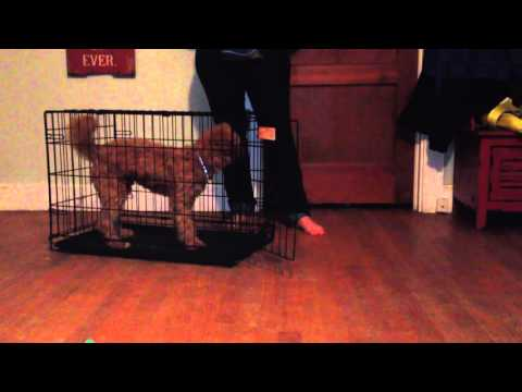 How to teach your dog to go into a crate.