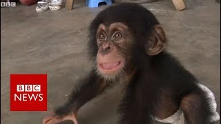 BBC helps bust Nepal chimp smuggling - BBC News