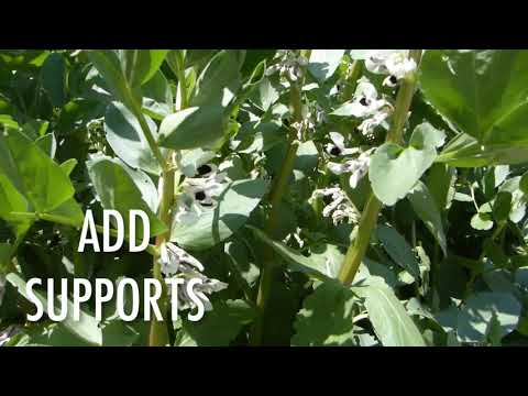 How to Grow Fava Beans (broad beans)