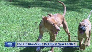 """""""hopi"""" On The Road To Recovery In Hopes Of A New Forever Home"""