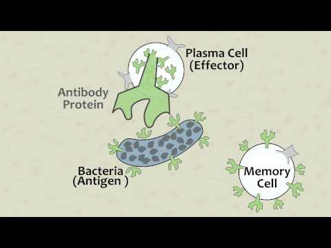 Video 8 White Blood Cell Function Overview
