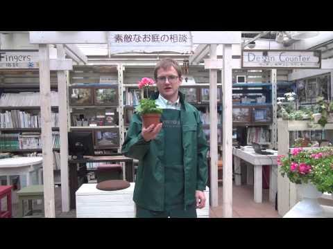 How to Grow and Care for Ivy geranium(Pelargoniumpeltatum)