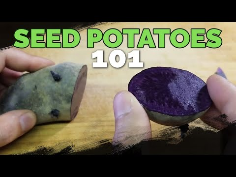 Seed Potatoes 101: How To Prepare Potatoes For Planting!