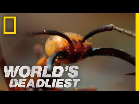 Army Ants Eat Everything | World's Deadliest