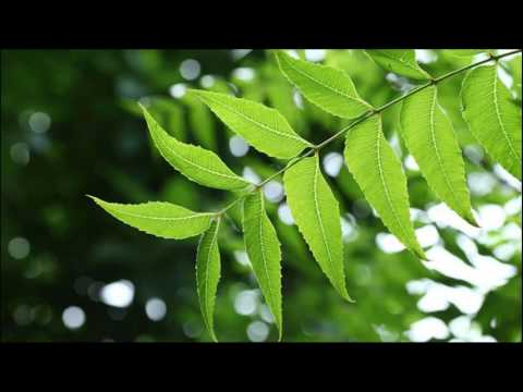 Neem Oil Conditions Dry, Under Nourished Hair How To Use At Home