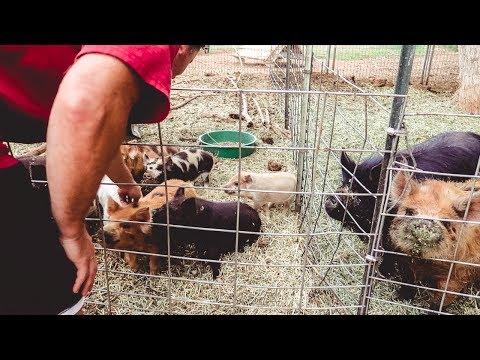 He finally gets his PIGS! (choosing our Kune Kune piglets)