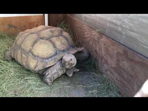 Outdoor DIY Sulcata Tortoise Housing In Cooler Climates