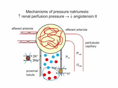 Pressure Natriuresis: The Basics