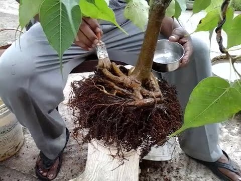 How to treat Bonsai tree fungus with soil changing.