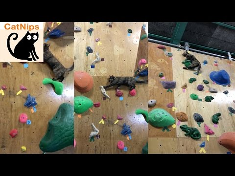 Cat Laughs in the Face of Climbing Wall Challenge | Catnips