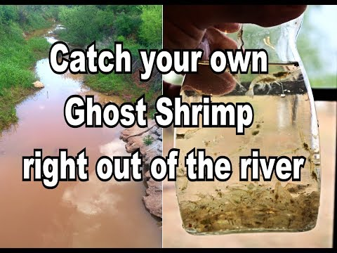 🤠   DIY: How to catch your own Ghost Shrimp  out of a river for your Aquarium.