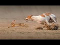 Download Wonder Videos!!! Outstanding Race!! Dogs and Rabbit Mind Blowing Real Chase Never Seen Before To Mp4 3Gp Full HD Video 1