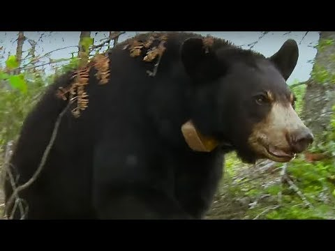Small bear cub lost in storm | BBC Earth
