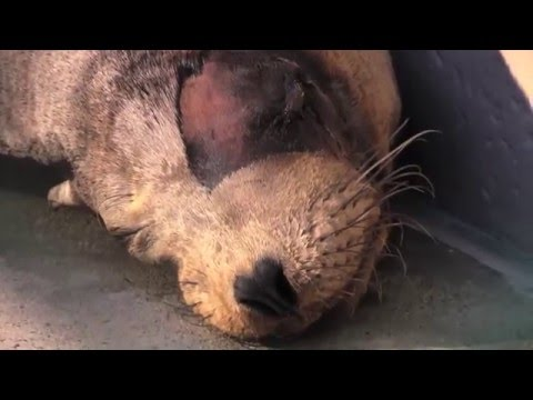 Rescued Sea Lion Suffering from Gunshot Wound Is Set to Return Home In Early 2016 | SeaWorld®
