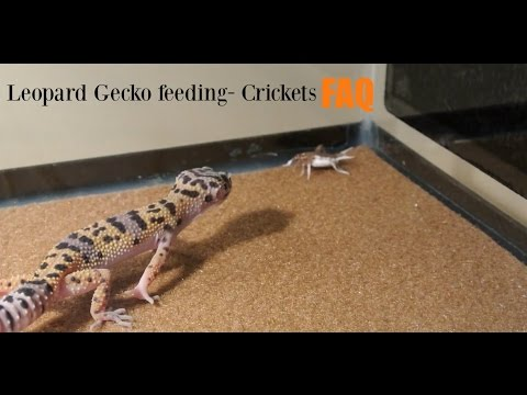 Leopard gecko cricket feeding FAQ